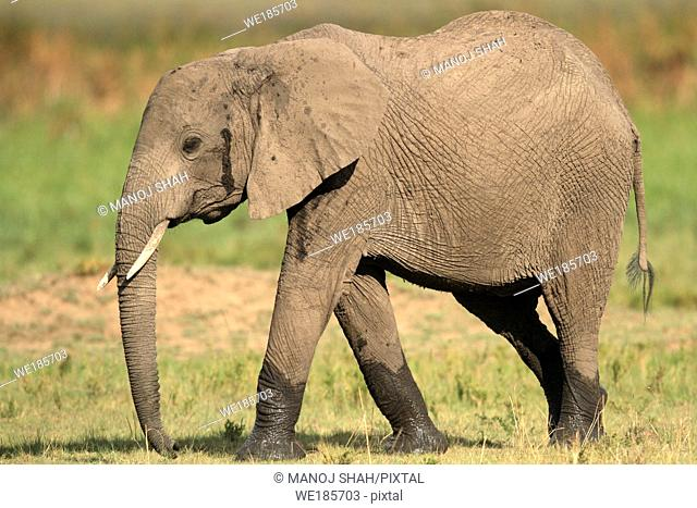 African Elephant strolling to the Marsh