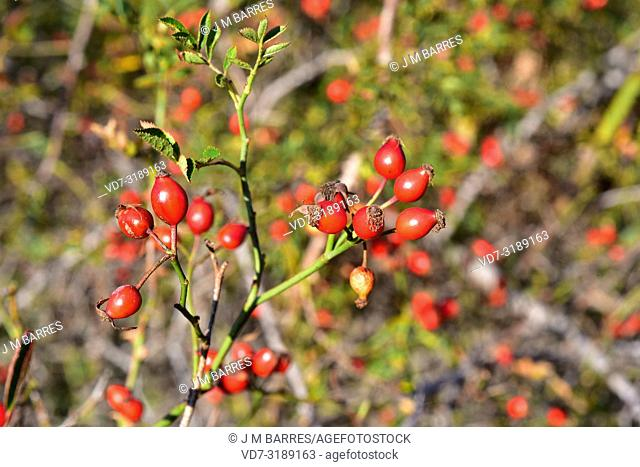 Dog rose (Rosa canina) is a deciduous thorny shrub native to Europe, northwest Africa and western Asia. Its fruits (hips) are very rich in vitamine C and are...