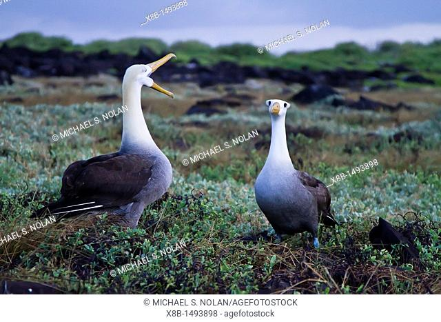 Adult waved albatross Diomedea irrorata at breeding colony on Espanola Island in the Galapagos Island Archipelago, Ecuador  MORE INFO This species of albatross...
