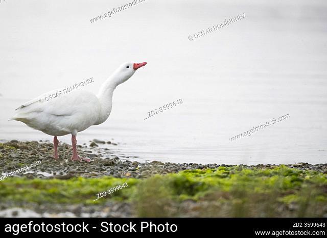 Coscoroba Swan (Coscoroba coscoroba) looking for food on shore. Chiloé. Los Lagos Region. Chile