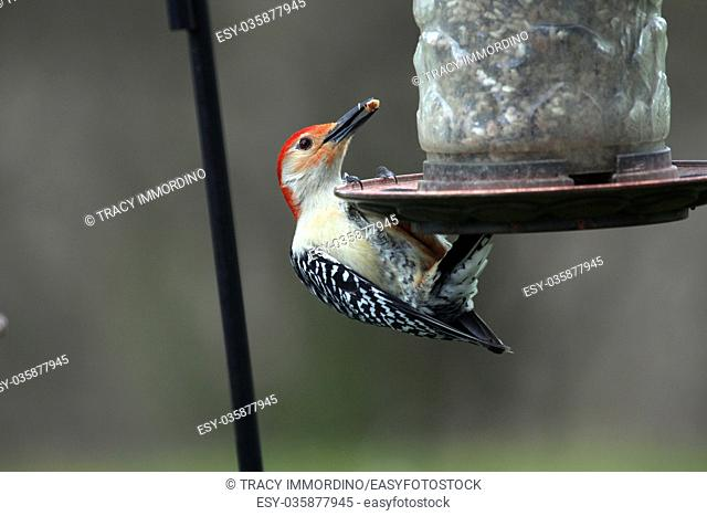 Close up of a Red-Bellied Woodpecker eating a nut at a birdfeeder in Wisconsin