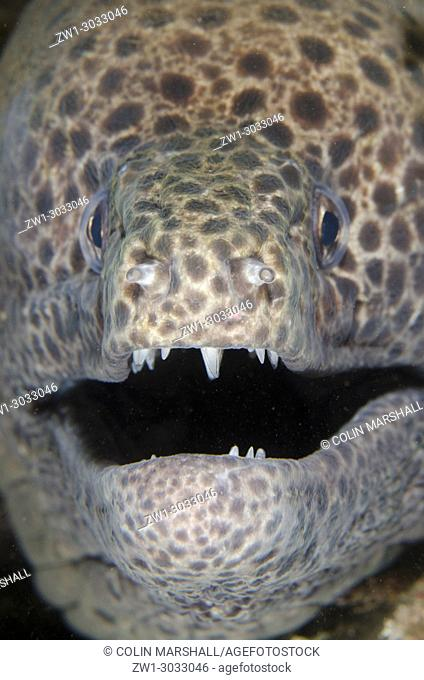 Blackspotted Moray (Gymnothorax favagineus) with open mouth showing teeth, Scuba Seraya house reef dive site, Seraya, Bali, Indonesia