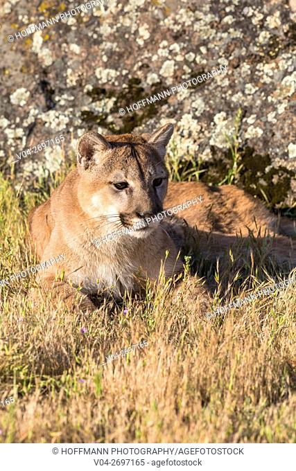 Adult mountain lion (Puma concolor) lying in the grass, captive, California, USA