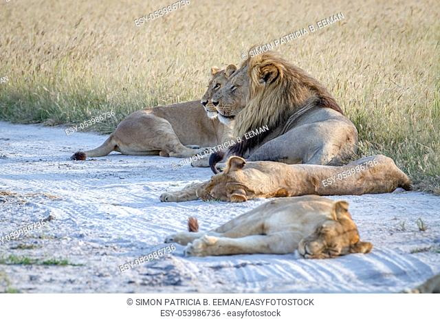 Pride of Lions laying in the sand in the Chobe National Park, Botswana