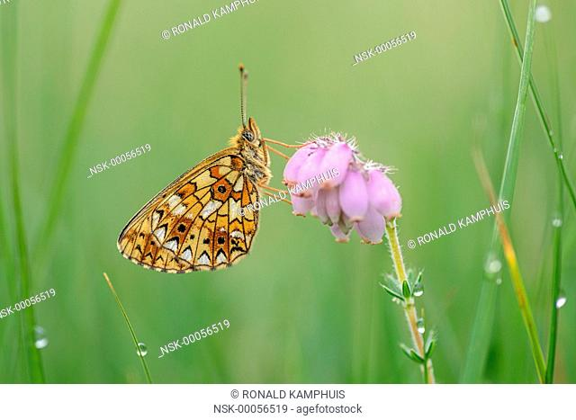 Silver-bordered fritillary (Boloria selene) on flowering heather, The Netherlands, Overijssel, Lemelerveld