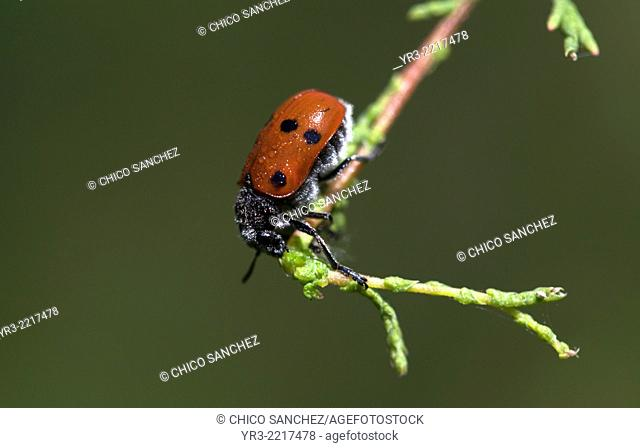 A lady bug covered with pollen and dew perches in a plant in Los Alcornocales Natural Park, Cadiz province, Andalusia, Spain