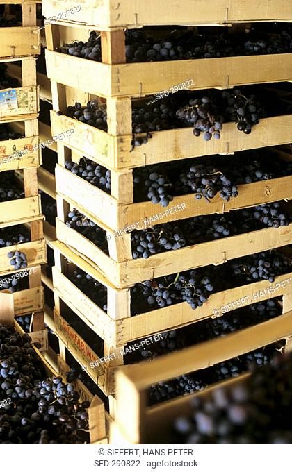 Appassimento Drying grapes in crates