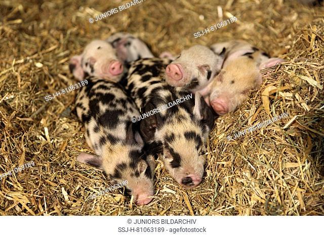Domestic Pig, Turopolje x ?. Piglets sleeping in straw. Germany