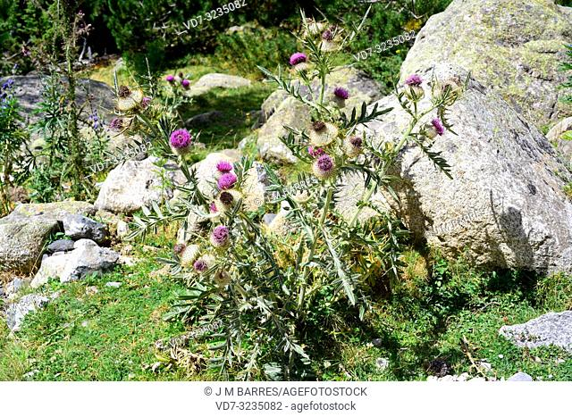 Woolly thistle (Cirsium eriophorum) is a biennial thorny herb native to central Europe and southern Europe mountains. This photo was taken in Aiguestortes Sant...