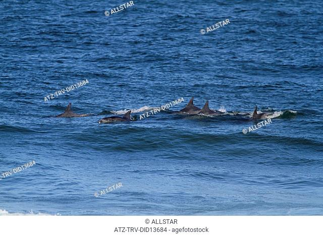 DOLPHIN POD IN INDIAN OCEAN; JEFFREY'S BAY, EASTERN CAPE, SOUTH AFRICA; 26/01/2011