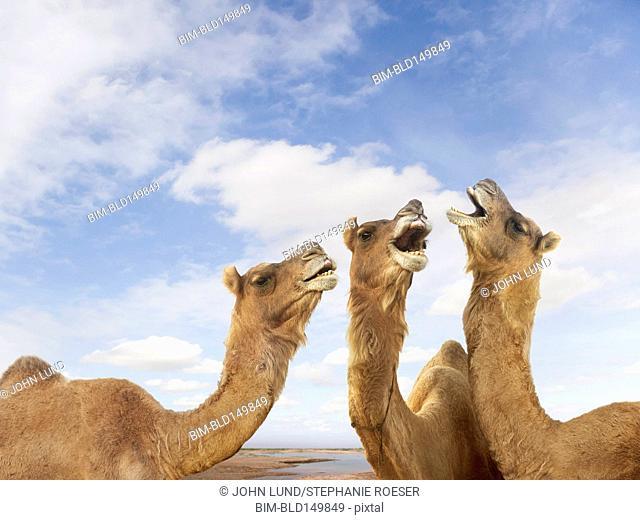Camels braying