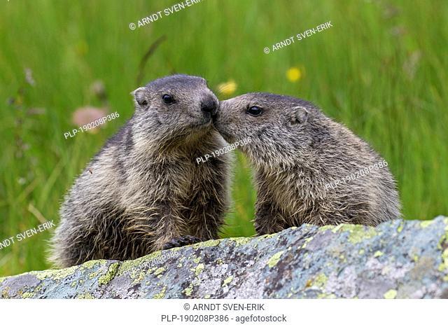 Two young Alpine marmot (Marmota marmota) on rock in alpine pasture in summer, Hohe Tauern National Park, Carinthia, Austria