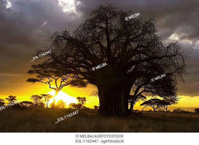 Baobab tree Tarangire National Park Tanzania Africa