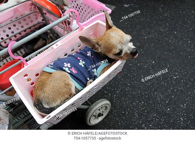 Smal Dog with Dress in a Basket