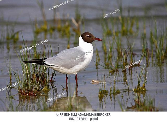Black-headed gull (Larus ridibundus) in breeding plumage standing in shallow water