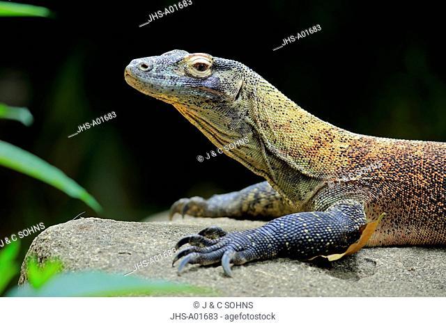 Komodo Dragon, (Varanus komodoensis), adult on rock portrait, captive, Singapore, Asia