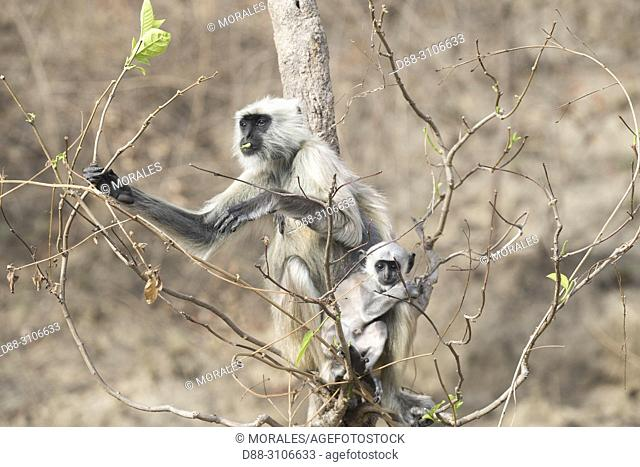 Asia, India, Uttarakhand, Jim Corbett National Park, Northern plains gray langur (Semnopithecus entellus), mother and baby eating leaves of a tree