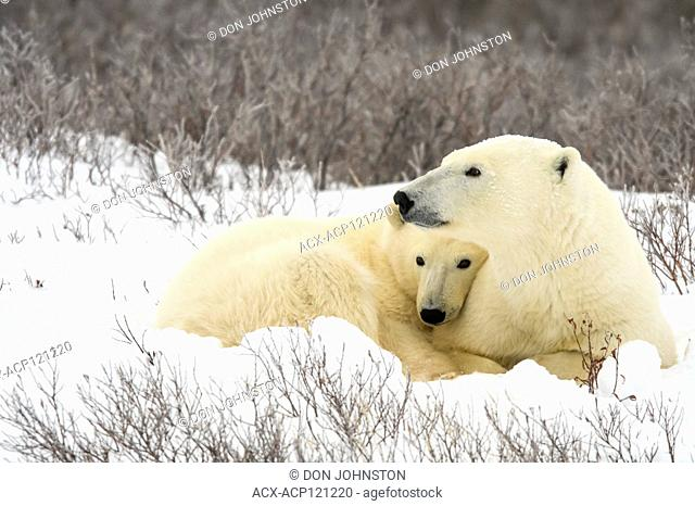 Polar Bear (Ursus maritimus) Mother and yearling cub resting along the Hudson Bay coast