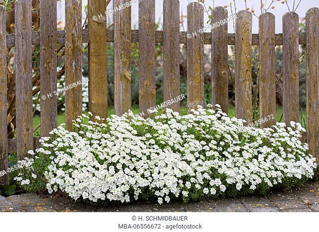 Sweet alison at the garden fence, Lobularia, Alyssum maritimum