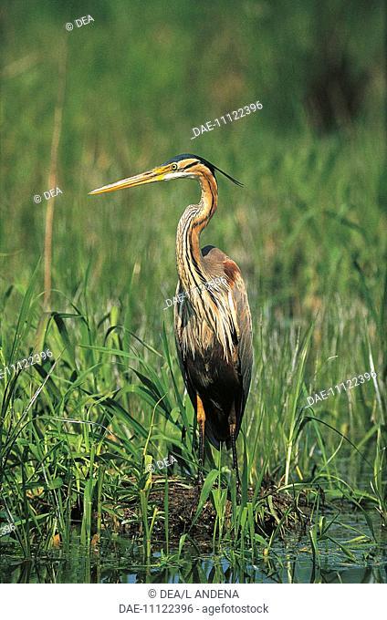 Zoology - Birds - Ciconiiformes - Purple Heron (Ardea purpurea) in reeds
