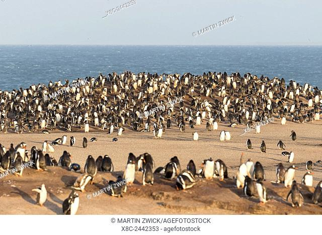 Gentoo Penguin (Pygoscelis papua) on the Falkland Islands, rookery. South America, Falkland Islands, January