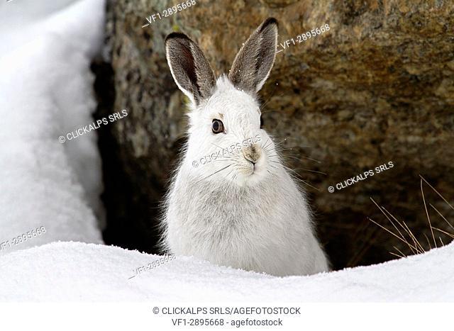 Stelvio National Park,Lombardy,Italy. Hare