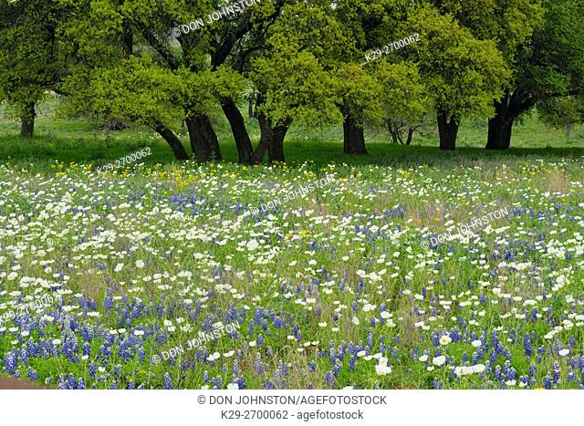 Flowering prickly poppies in a field with spring oak trees, Willow City Loop, Gillespie County, Texas, USA