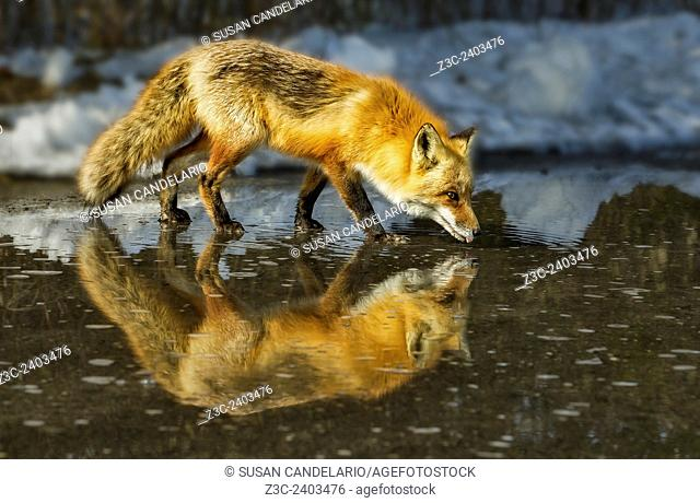 Red Fox Has A Drink - Male Red Fox (Vulpes vulpes) drinks from a puddle of water created from the melting snow, on a beautiful sunny winter afternoon