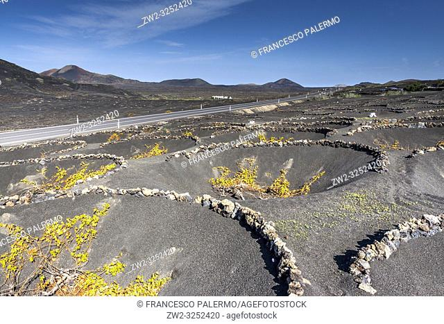 The typical Malvasia of the volcanic island. La Geria, Lanzarote. Spain
