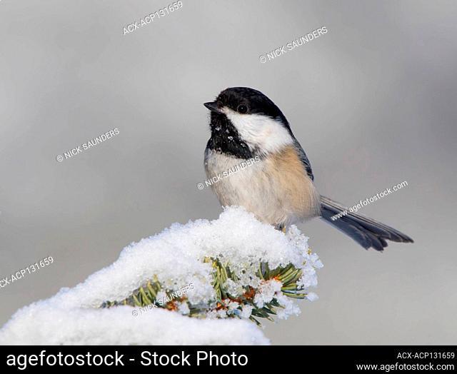 Black-capped Chickadee, Poecile atricapillus, perched on a snowy branch in Saskatoon, Saskatchewan
