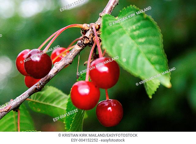 Branch with delicious wild cherries hanging from a cherry tree
