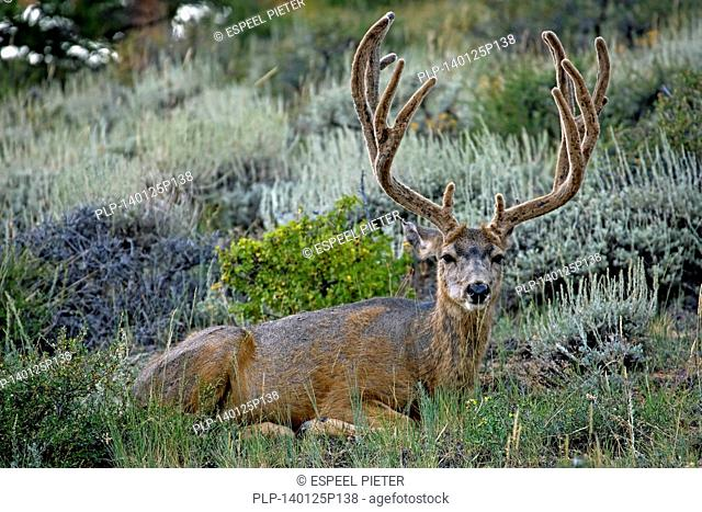 Mule Deer (Odocoileus hemionus) stag with antlers covered in velvet and moulting