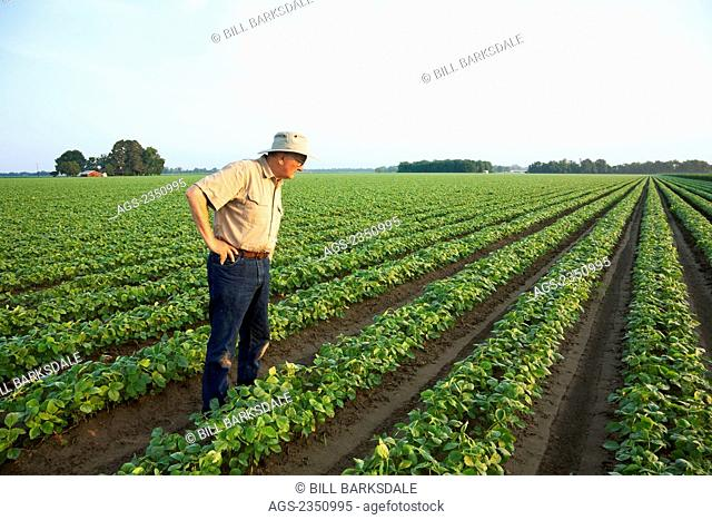 Agriculture - A farmer (grower) walks through his field inspecting his early growth crop of twin row soybeans, with two rows per bed