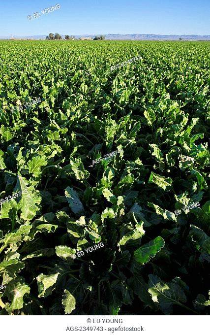 Agriculture - Large field of mid growth sugar beets / Imperial Valley, California, USA