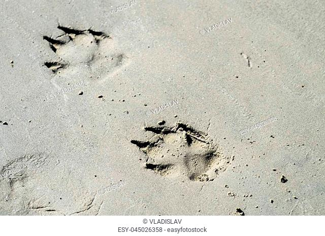 Large dog's paw prints on wet sand close-up with shallow depth of focus