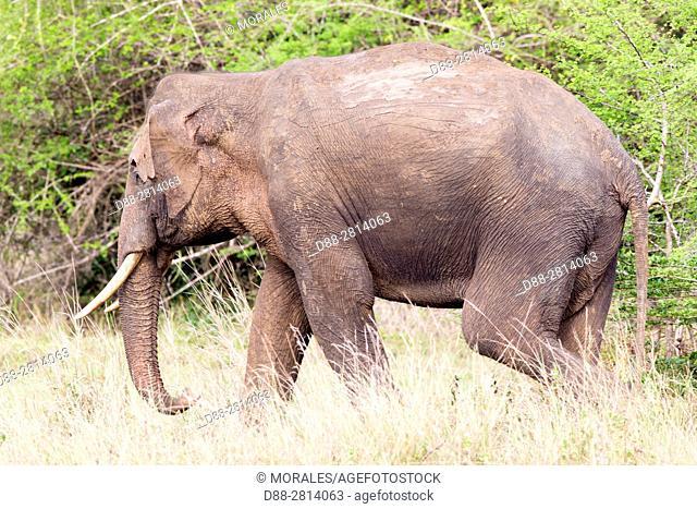 Sri Lanka, Northwest Coast of Sri Lanka, Sri lankan elephant (Elephas maximus maximus),