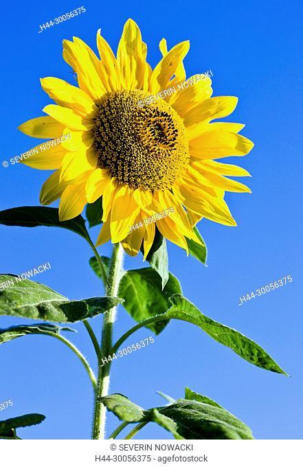 Sonnenblumen, Feld, Natur, Schweiz