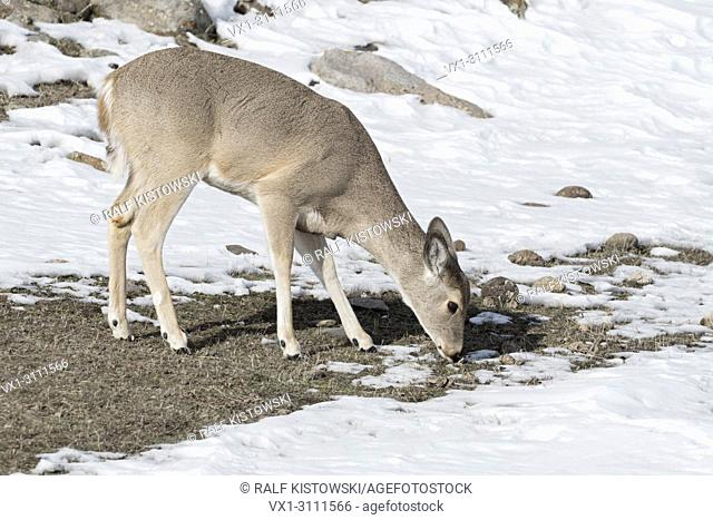 White-tailed deer / Weisswedelhirsch ( Odocoileus virginianus ) in winter, feeding on grass, Yellowstone area, USA