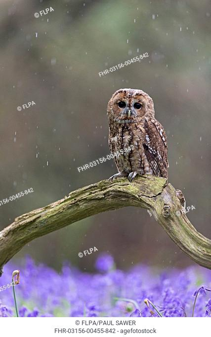 Tawny Owl (Strix aluco) adult, perched on fallen branch amongst Bluebell (Hyacinthoides non-scripta) flowers during rainfall, Suffolk, England, May (captive)