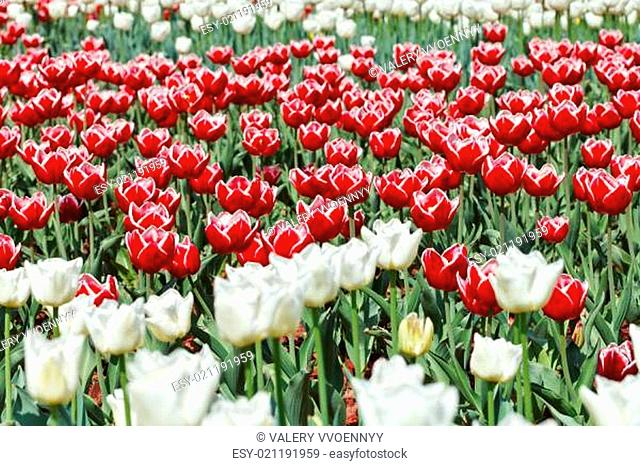 meadow of red and white ornamental tulips