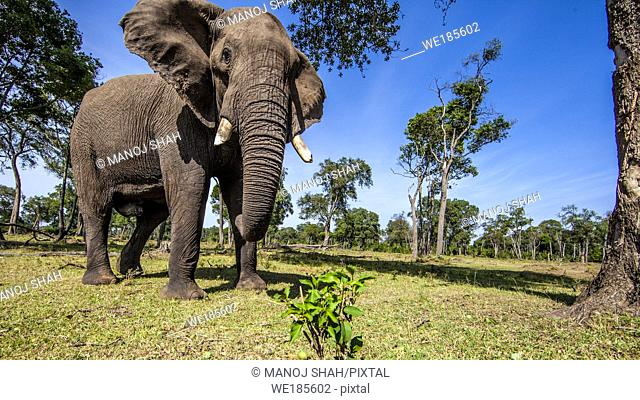 African Elephant picking and eating fallen tree fruits with trunk. Masai Mara National Reserve, Kenya