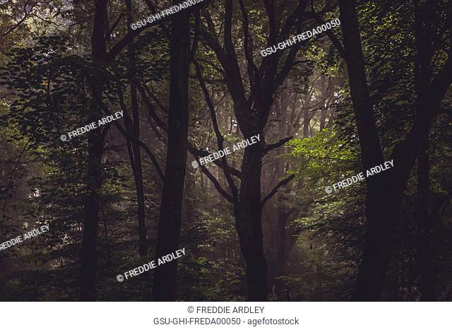 Dense Forest with Silhouetted Trees
