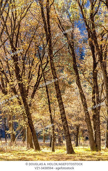 Black Oak in Fall Yosemite National Park CA USA World Location
