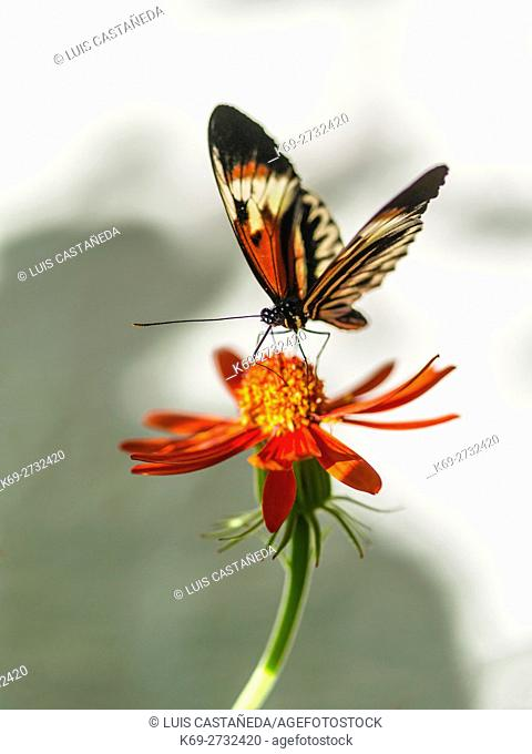 Butterfly on Flower (Heliconius melpomene)