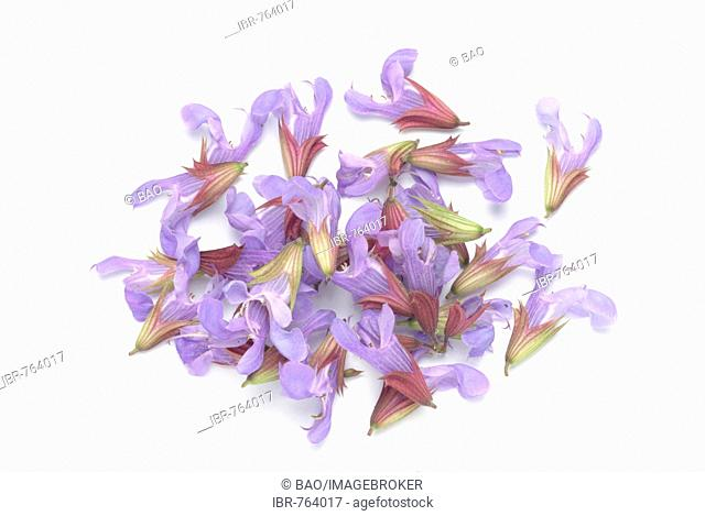Common Sage blossoms (Salvia officinalis), medicinal plant, herb
