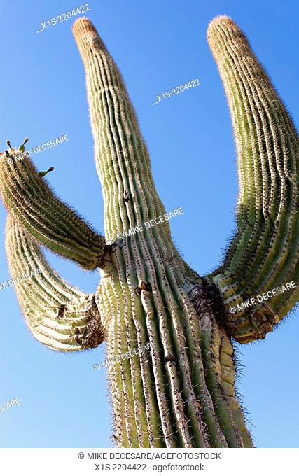 Close up looking up at a stovepipe cactus emphasizing the needles and straight lines on the skin