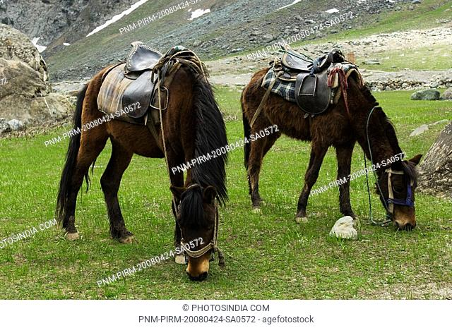 Mules grazing on a grassland, Sonmarg, Jammu And Kashmir, India