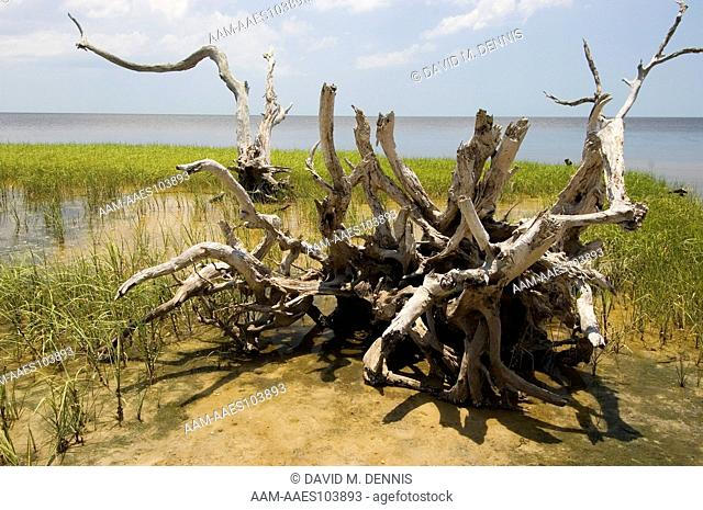 Dead trees, Shired Island, a shell midden on the gulf coast, made by prehistoric Indians, Dixie Co. FL