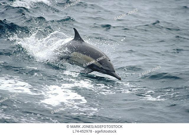 Common Dolphin (Delphinus delphis) usually found in large highly sociable groups often become entangled in tuna fishing nets