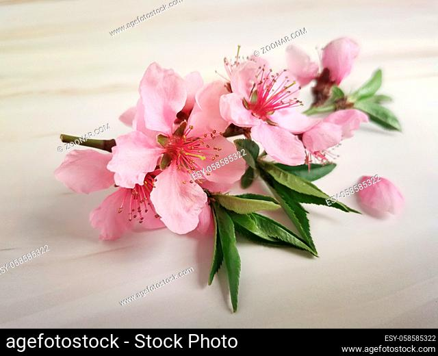 Peach blossom branch with beautiful pink flowers. Presented on a light background